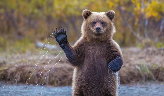 Hayvanlar alemi ilginçliklerle dolu, bunlara bir örnekte işte bu ayılar. Ayıların yapmış olduğu insani hareketlere şaşıracak ve güleceksiniz. İşte o fotoğraflar...