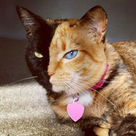Böyle bir kedi daha önce görmüş müydünüz? İşte şu sıralar internetin fenomenlerinden birisi 'Venüs' isimli bu kedi. Sarı siyah tüyleri, mavi yeşil gözleri onu diğer kedilerden ayıran en büyük özelliklerden. İşte Venüs'ün en çok beğenilen o fotoğrafları...