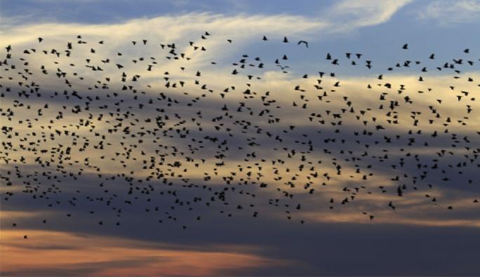 Avusturya'da sarhoş kuşlar trafiği birbirine kattı