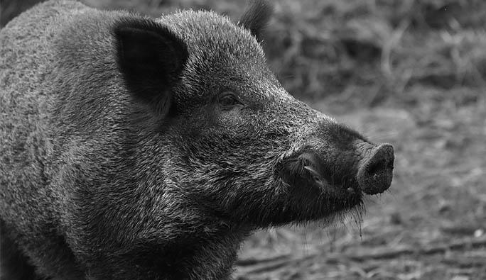 O ülkenin Viyana Büyükelçisi, domuz saldırısına uğradı