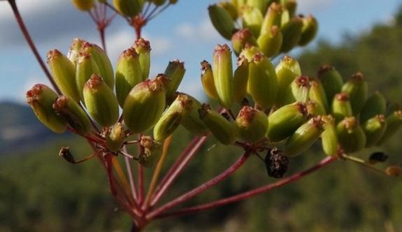 Dünyada sadece İzmir'de belirlenen yeni bir bitki türü keşfedildi