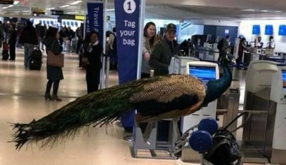 Tavuskuşuyla uçağa binmek isteyince...