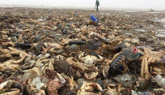Kıyamet manzarası! On binlercesi sahile vurdu