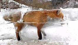 Tuna Nehri'ne düşen tilki dondu