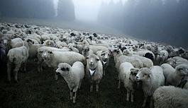 Esrar yiyen koyunlar...