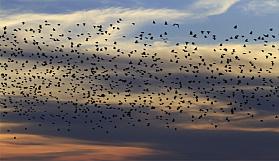Sarhoş kuşlar trafiği birbirine kattı