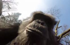 Video - Şempanze, İnsansız Hava Aracını Düşürdü
