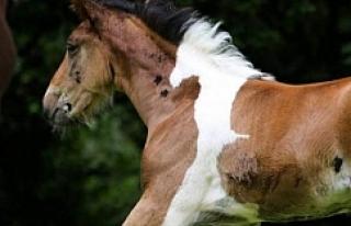 Photoshop değil gerçek! Atın üzerinde at deseni...