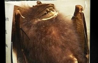 Turşu kavanozundaki yarasanın büyük sırrı ortaya...