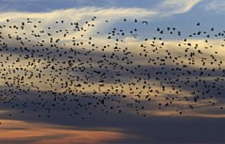 Avusturya'da sarhoş kuşlar trafiği birbirine...