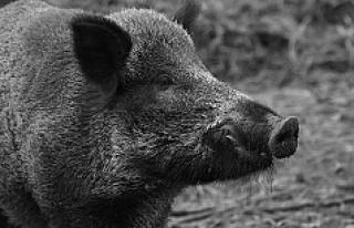 O ülkenin Viyana Büyükelçisi, domuz saldırısına...