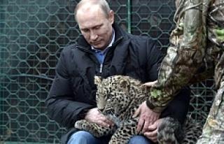 Putin'e Kötü Haber! Leoparı ölü Bulundu!
