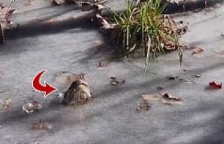 Kanalizasyondan yırtıcı hayvan çıktı!