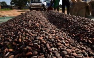 Kakaonun geleceği tehlikede, çikolata 40 yıl içinde tükenebilir!
