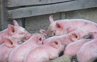 Beslediği domuzlar kadını yiyerek öldürdü!