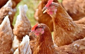 Tavuklar birlik olup kendilerini koruyabilir mi?
