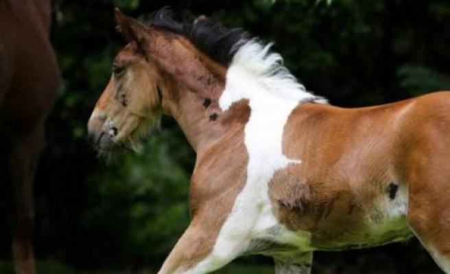 Photoshop değil gerçek! Atın üzerinde at deseni var!