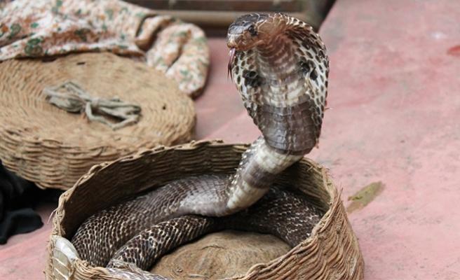 Viyana ve çevresinde yaşayanların dikkatine: Zehirli kobra yılanı kaçtı