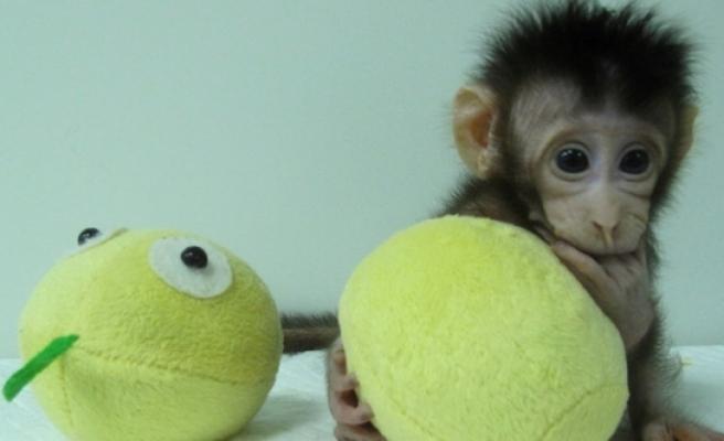 Çin'de bilim insanları iki maymunu klonlamayı başardı!