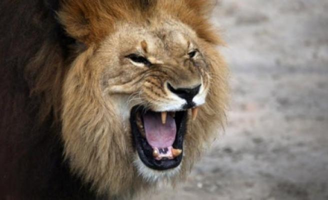 Aslanlar avcıyı yedi!