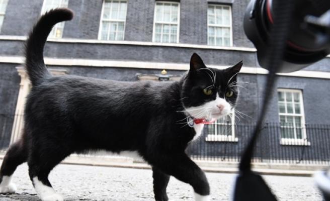 İngiltere, kedi Palmerston'un aldığı kilolardan rahatsız!