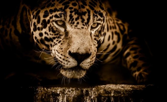 Selfie çekeyim derken, jaguar saldırısına uğradı!