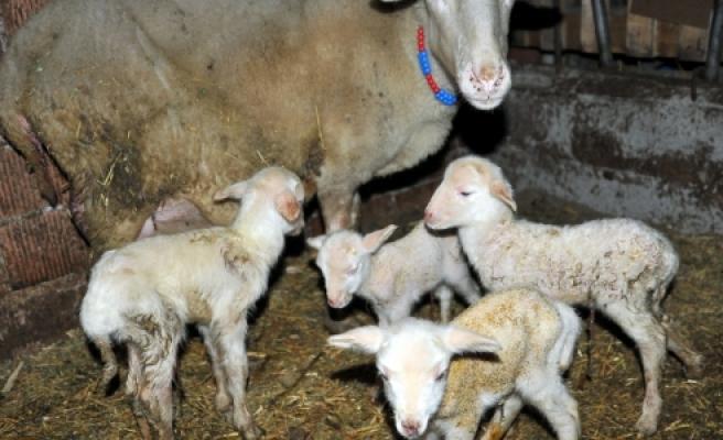''Bursa'da Bir Koyun Altız Doğurdu''