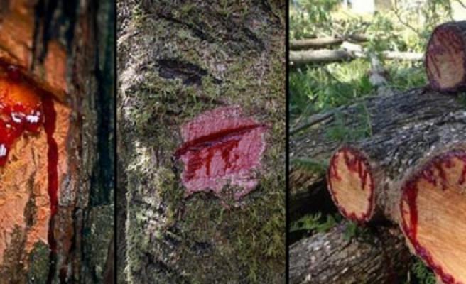 '' Kan ağlayan ağacın mucizesi''