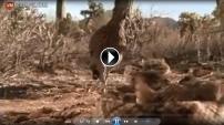 Roadrunner kuşu, çıngıraklı yılanı böyle yerden yere vurdu